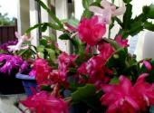 巴西的国花是毛蟹爪兰花吗?其盆栽要点有哪些?