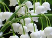 铃兰花是芬兰的国花吗?栽培技术要点有哪些?