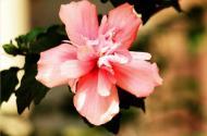 木槿花是韩国的国花吗?盆栽种植怎么容易成活呢?