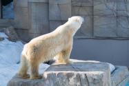 北极熊身上被赐字是怎么回事?为什么赐字?可以擦掉吗?