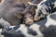 """中南六省(区)""""禁调令""""生效时间是什么时候?对养殖户和未来猪价有什么影响?"""