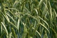 2020年种小麦还有补贴吗?补贴标准是多少?