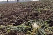 200亩萝卜被拔光是怎么回事?事实真相是这样的,不要以讹传讹啦!