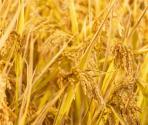 2019年全国粮食总产量66384万吨,创历史最高水平!