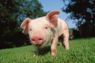 年底猪肉价格能降下来吗?附近日猪肉价格走势