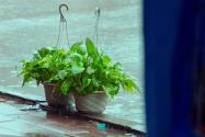 绿萝常见的品种有哪些?那种更适合家养?附养殖方法