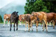 2020年肉牛养殖前景如何?有哪些品种?