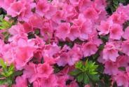 朝鲜的国花是什么花?是金达莱吗?盆栽要点有哪些?