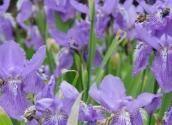 法国的国花是香根鸢尾吗?花语是什么?