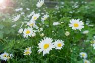 雏菊是意大利的国花吗?盆栽的话怎么养好看?