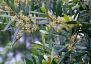 橄榄花是希腊的国花吗?花语是什么?