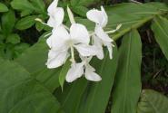 姜花是古巴的国花吗?种植方法和注意事项有哪些?
