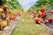 现在草莓多少钱一斤?如何挑选?附最新市场价格参考