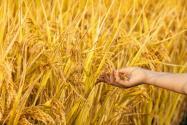 水稻常见的病虫害有哪些?要如何防治?