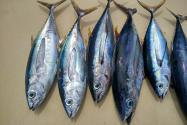 鱼王拍近2亿日元是怎么回事?是什么鱼?分布在哪里?