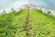 冬季大棚蔬菜要怎么浇水?要注意什么?