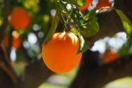 橙子树从种到结果实需要多久?可以种在院子里吗?附种植技术
