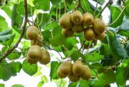 猕猴桃什么时候种植、成熟?怎么搭架?