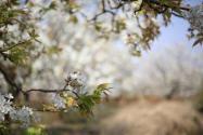 梨树怎么种?种在院子里可以吗?果实什么时候采收?