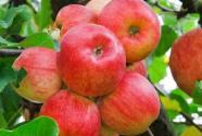 现在苹果多少钱一斤?2020年价格走势如何?