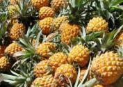 2020年菠萝价格多少钱一斤?种植管理技术要点有哪些?