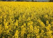 油菜缺少氮、磷、钾等元素有什么典型症状?