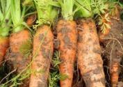 胡萝卜黑腐病是什么原因造成的?如何防治?