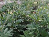 芍药小苗价格及种植方法介绍
