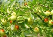 枣树的施肥技巧有哪些?冬季如何管理?
