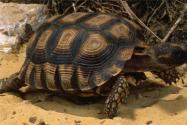 雄龟50年繁育800只幼龟是怎么回事?属于什么品种?真相让人震惊!