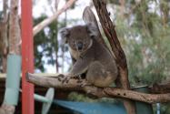 考拉或将列为濒危物种!为什么被列为濒危物种?原因竟是如此!
