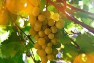 家中庭院可以种葡萄吗?什么时候种?怎么种植?