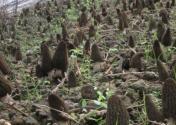 羊肚菌什么季节种植好?附高效栽培技术