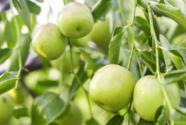 枣树苗什么时候种植?怎么嫁接成活率高?