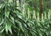 富贵竹的种类有哪些?附冬季养护注意事项