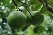 柚子树适合种植在什么地方?栽培技术要点有哪些?