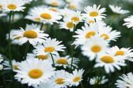 洋甘菊的花语是什么?盆栽容易活吗?