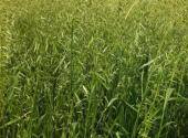 燕麦的别名叫什么?如何种植?