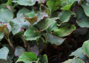 折耳菜别名叫什么?味道是怎样的?喜欢生长在什么地方?