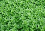 香草的别名叫什么?冬季适合种植香草吗?