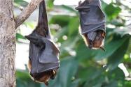 蝙蝠或直接感染人是怎么回事?这是谁发现的?这一结论有何依据?