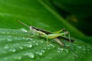 群居蝗虫有毒,不是你想吃就能吃的,吃货们醒醒吧!