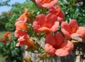 凌霄花的别名叫什么?种植方法要点有哪些?