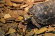 乌龟的尾巴有什么作用?一般吃什么食物为主?