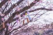 又是一年花开季:南宁疫期800人扎堆赏山樱花