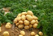 土豆高产栽培技术要点是什么?做好这五点很重要!