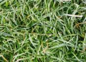 龙舌草的别名叫什么?如何栽培?