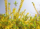迎春花是什么市的市花?迎春花苗的价格是多少钱一棵?
