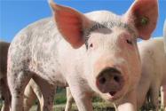 2020-2021年国家生猪稳产保供通知:将完善临时贷款贴息补助政策!