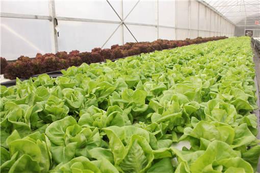 大棚蔬菜早衰怎么办?这7个诀窍早用早好!建议菜农收藏